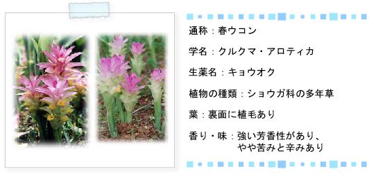 春ウコン特徴
