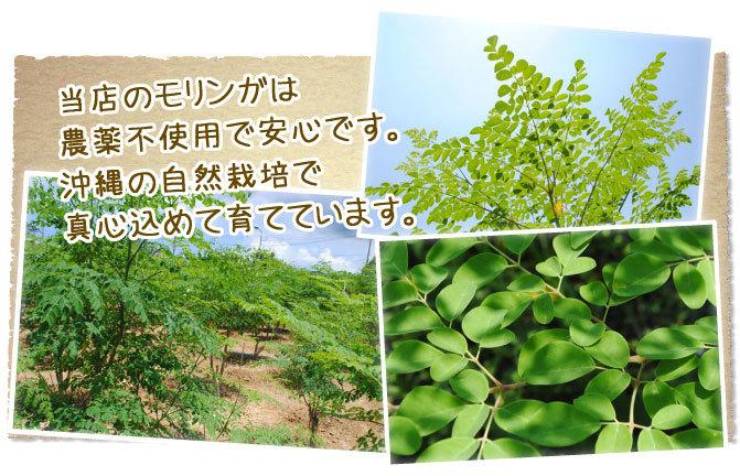 沖縄の自然栽培モリンガ
