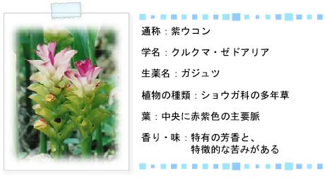 紫ウコン説明