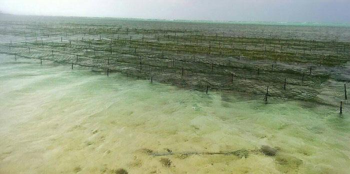 アーサ養殖風景